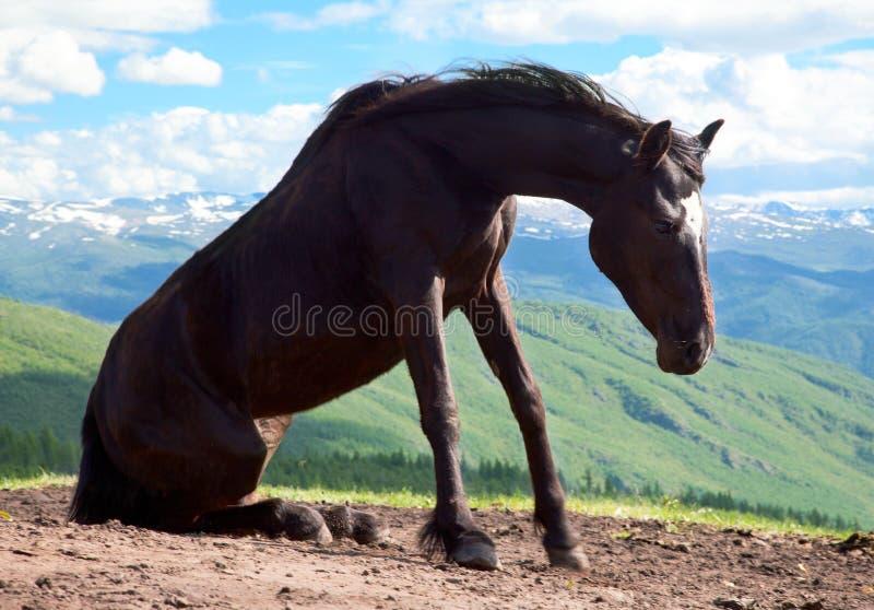 Black stallion royalty free stock image