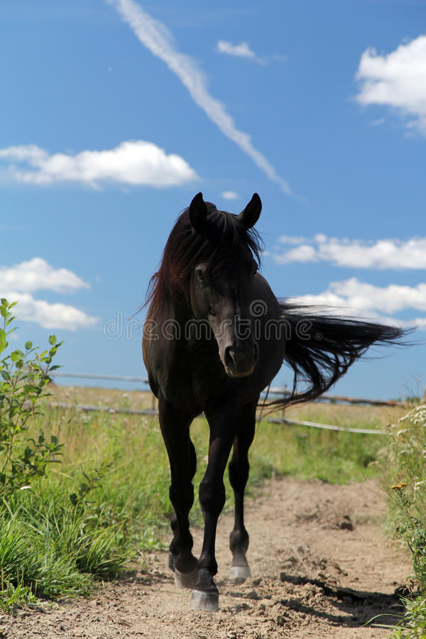 Download Black stallion stock image. Image of cloud, grass, walk - 22500581