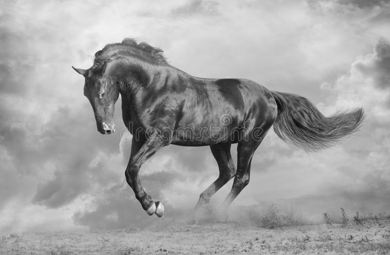 Black stallion royalty free stock photography