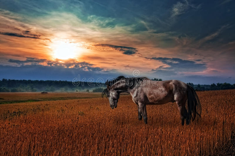 Download Black Stallion In Evening Field Stock Image - Image: 18362325