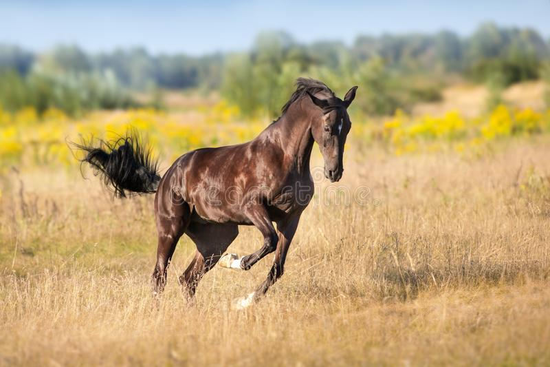Black stallion free in motion stock photo