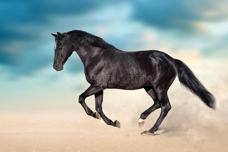 Black stallion galloping stock photos