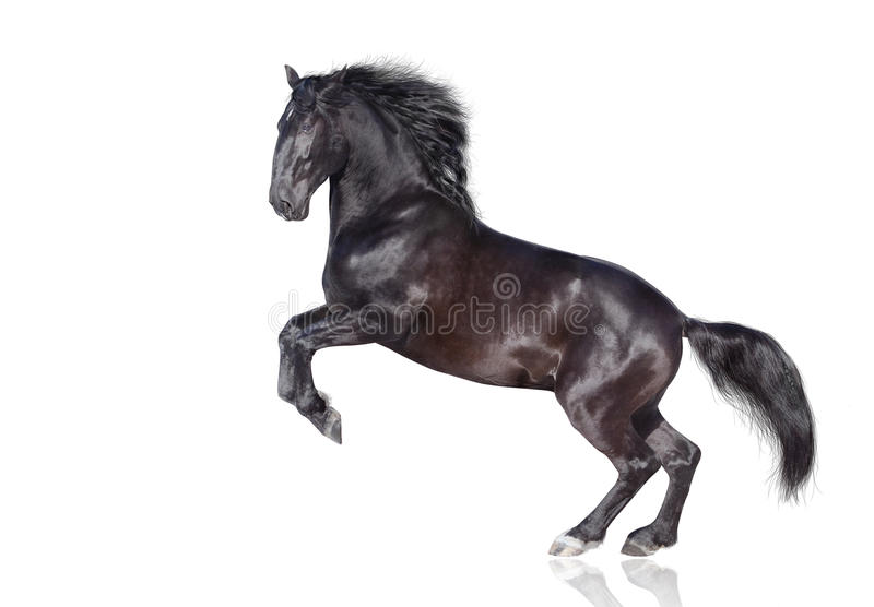 Black stallion isolated royalty free stock image