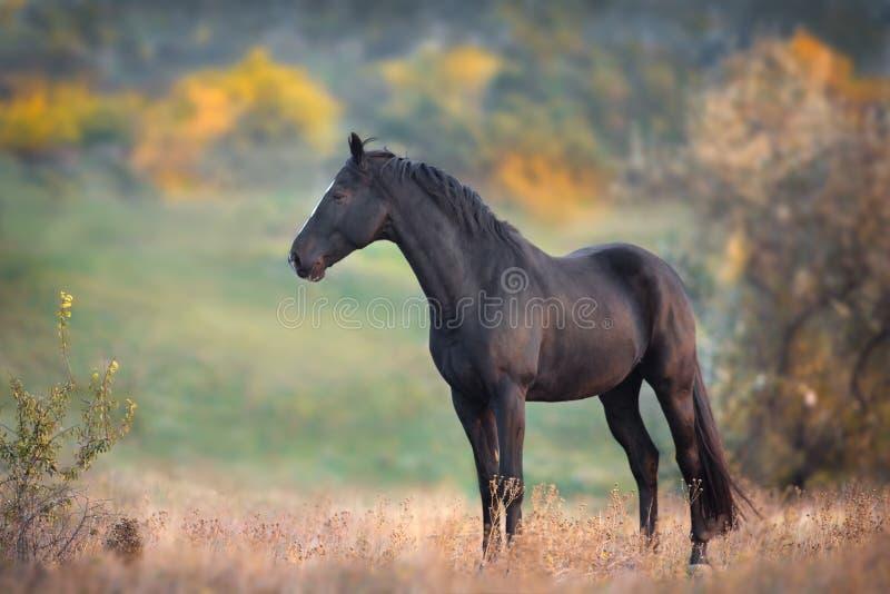 Black stallion standing stock photo