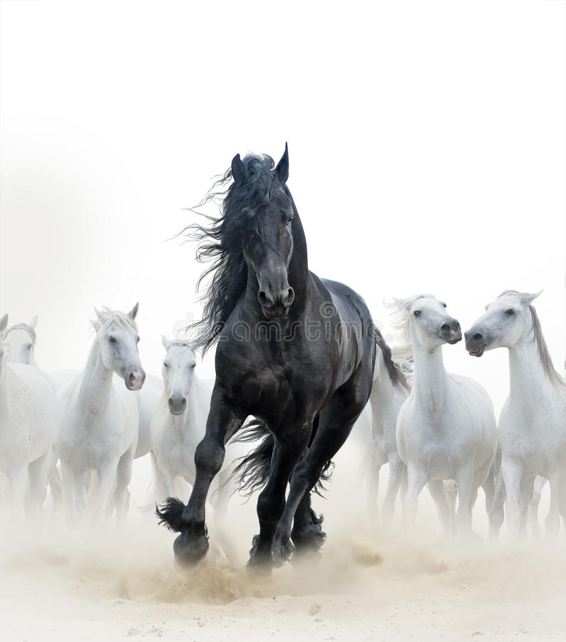 Black stallion and white horses. Concept: Black frisian stallion running with the herd of white horses on the background stock image
