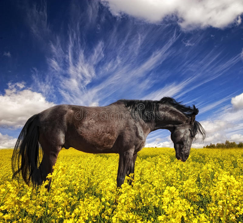 Black stallion in yellow field royalty free stock images