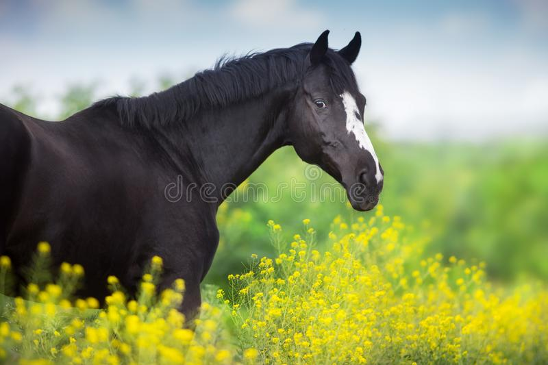 Black stallion on yellow stock photo