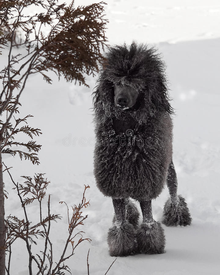Black Standard Poodle in snow royalty free stock images