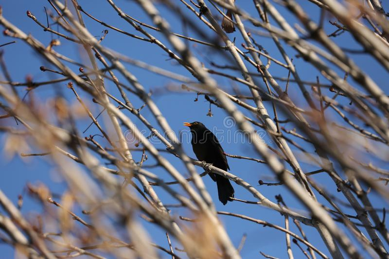 Black starling bird. Bird Black Starling sings songs among the branches of a tree in spring stock photos