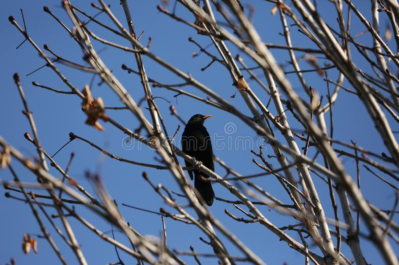 Black starling bird. Bird Black Starling sings songs among the branches of a tree in spring royalty free stock image