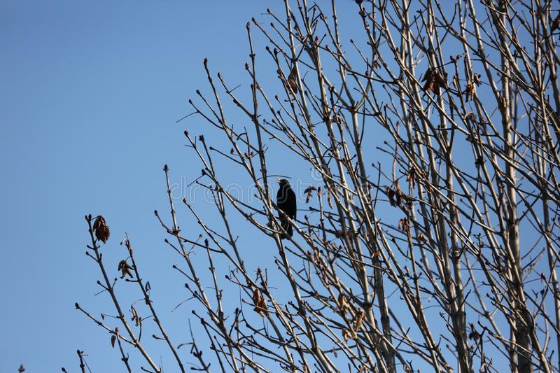 Black starling bird. Bird Black Starling sings songs among the branches of a tree in spring royalty free stock images