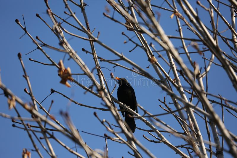 Black starling bird. Bird Black Starling sings songs among the branches of a tree in spring royalty free stock photo