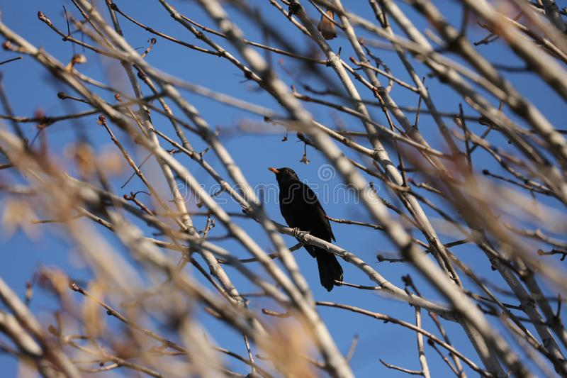 Black starling bird. Bird Black Starling sings songs among the branches of a tree in spring stock photography