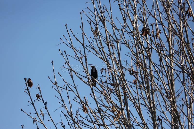 Black starling bird. Bird Black Starling sings songs among the branches of a tree in spring royalty free stock photos