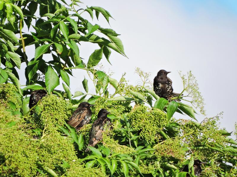 Black starling birds rest on tree branch, Lithuania. Beautiful starling bird on beautiful tree branches in summer royalty free stock photography