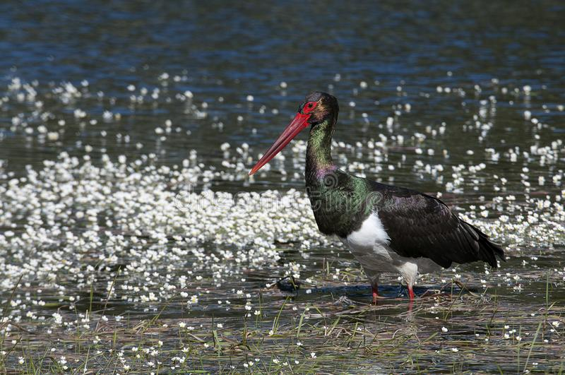 Black stork Ciconia nigra, searching for food among flowers royalty free stock photo