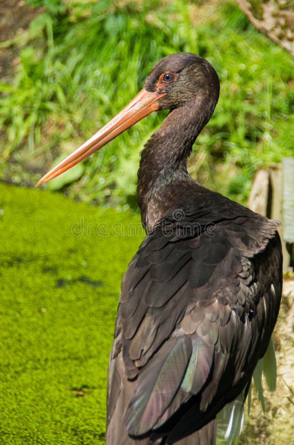 Black stork in close-up stock image