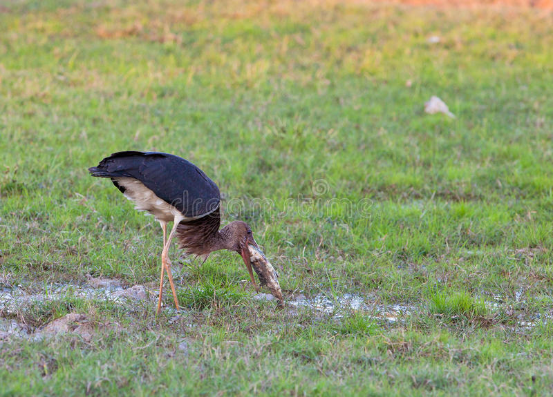 Download Black Stork with fish stock photo. Image of green, lagoons - 22430976