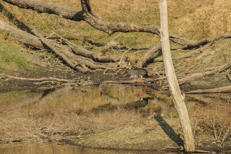 Black Stork Foraging in Waterhole. Standing in the midst of a waterhole, by a brown grassy riverbank with dead and fallen trees, a bird with black iridescent royalty free stock photos