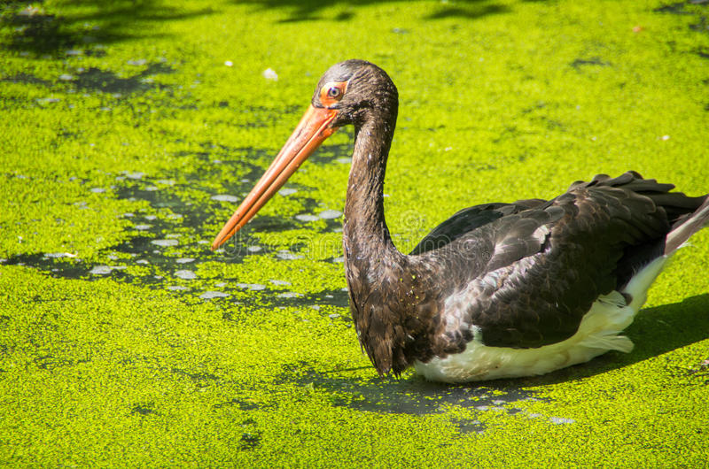 Black stork in a pond stock image