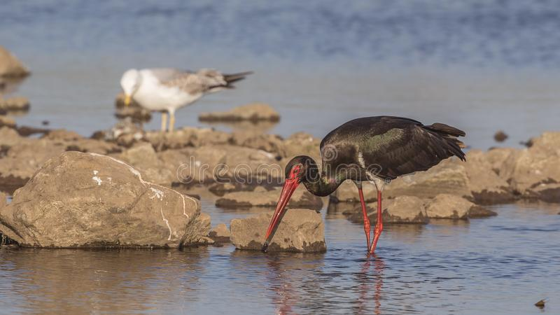 Black Stork Searching Food stock photography
