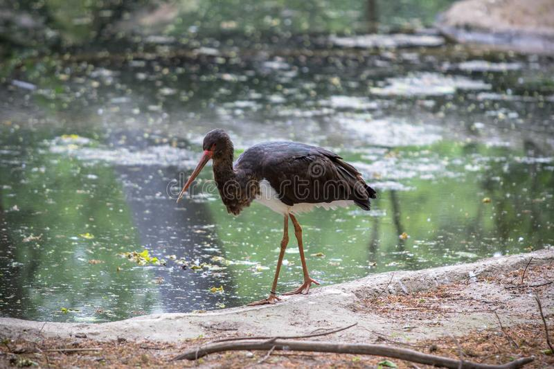 Black stork in a Zoo, Berlin stock photography
