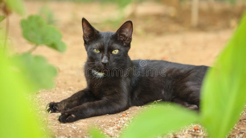 Black stray cat, fur dirty from dust and hairs, laying on sandy. Ground, green leaves around, looking straight into camera stock photo