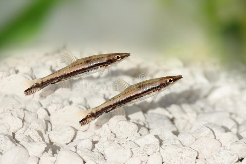 Black stripe pencilfish nannostomus pencil fish freshwater for Black and white striped fish freshwater
