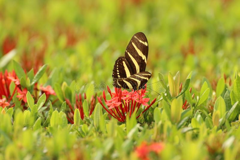 Black striped butterfly, Costa Rica stock photos