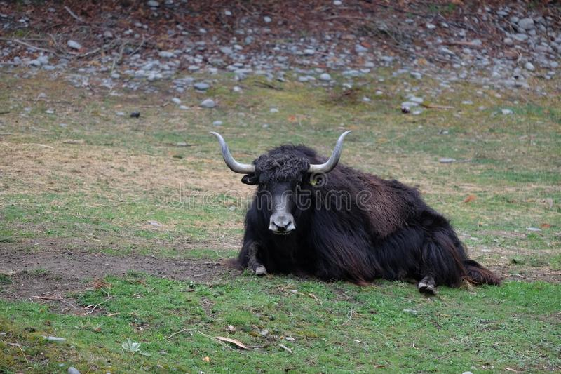 A black strong ox with long horn. On green patch of grass royalty free stock photos