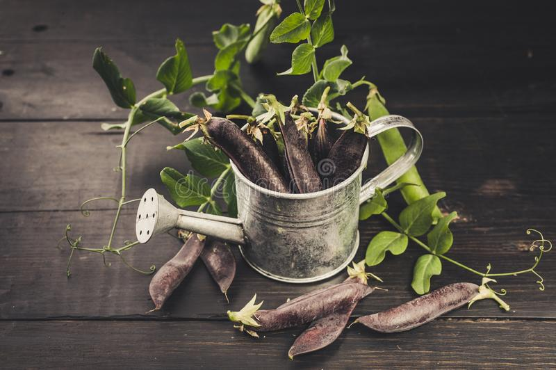 Black sugar peas in a decorative watering can on a dark rustic background. Vintage composition. Farm Organic Products Concept stock images