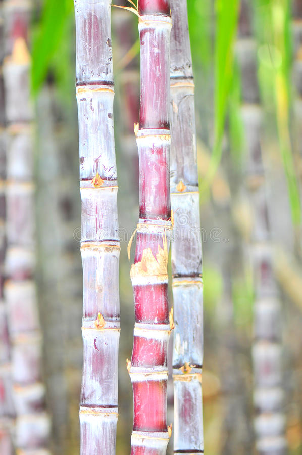 Black sugarcane stock image