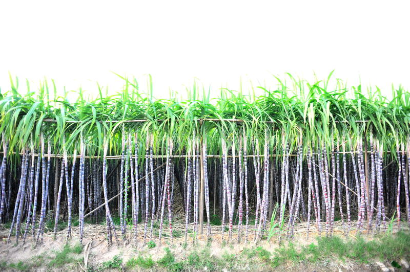 Black sugarcane crops royalty free stock image