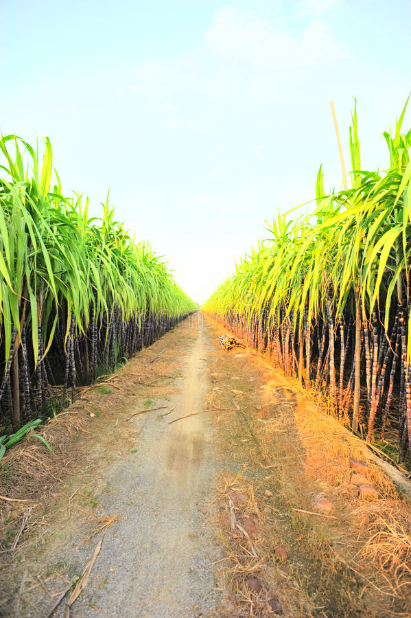 Black sugarcane farm stock photography