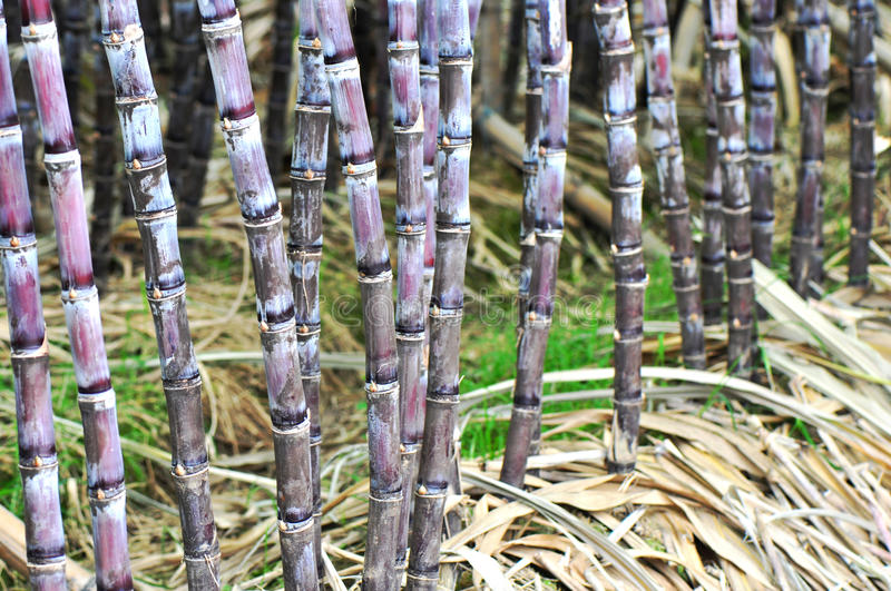 Black sugarcane farmland stock images