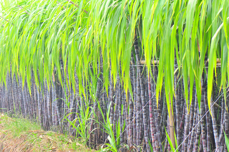 Black sugarcane plant row royalty free stock photo