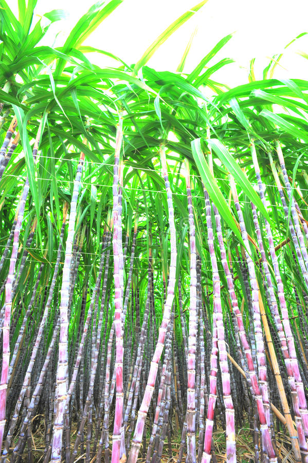 Black sugarcane plants royalty free stock photos