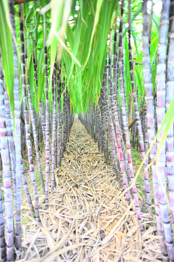 Black sugarcane rows stock images