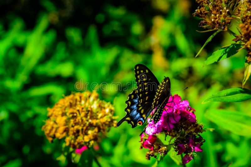 Black Swallow tail butterfly resting in woodland park. stock images