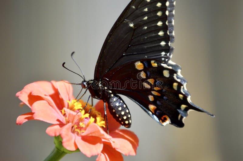 black swallowtail royaltyfria bilder