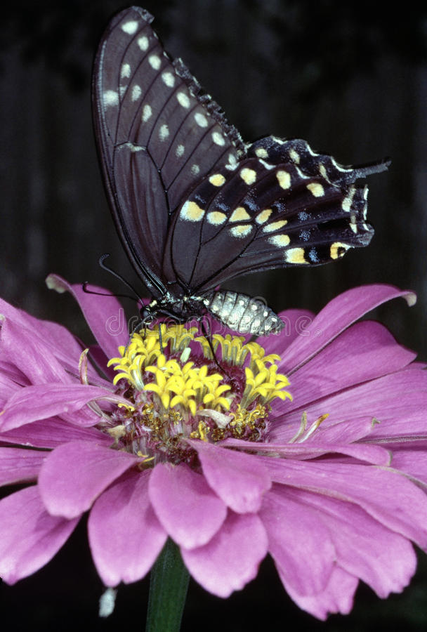 Black Swallowtail butterfly. (Papilio Polyxenes) feeding on zinnia flower in garden in Texas royalty free stock images