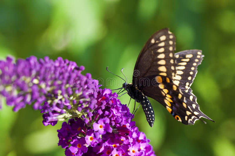 Download Black Swallowtail Butterfly Stock Photo - Image: 25822212