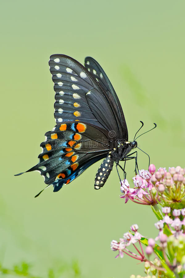Black Swallowtail Butterfly. Feeding on some flowers stock photos