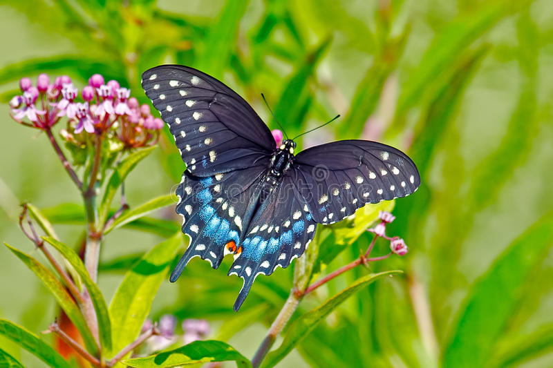 Black Swallowtail Butterfly. Feeding on some flowers royalty free stock photography