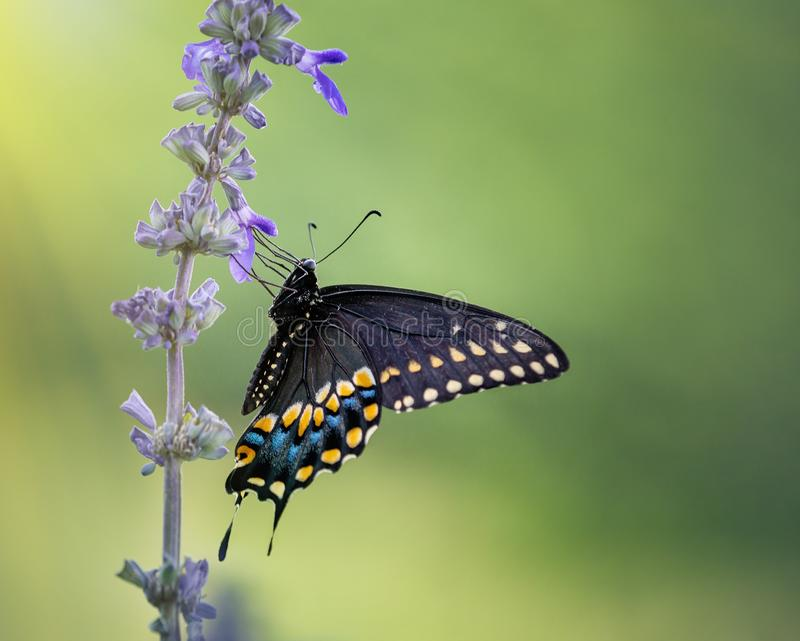 Black Swallowtail butterfly on blue salvia flowers royalty free stock photography