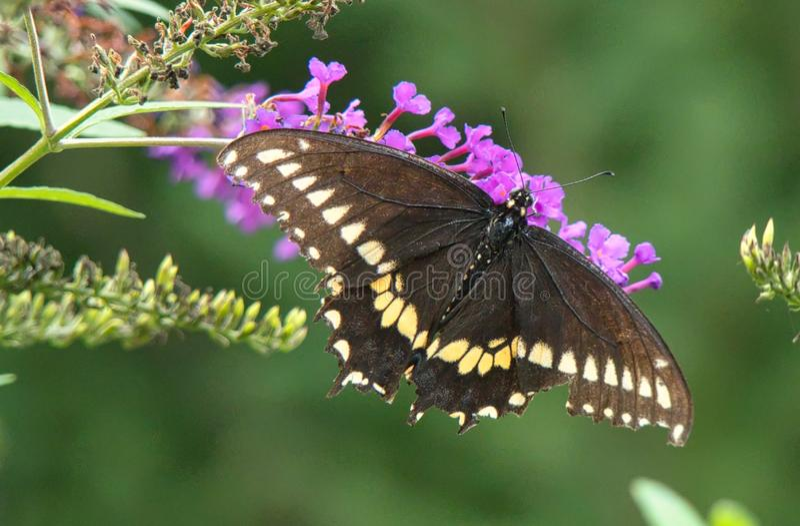 Black Swallowtail Butterfly on Butterfly Bush. A detailed close up of a Black Swallowtail Butterfly on Butterfly Bush stock photography