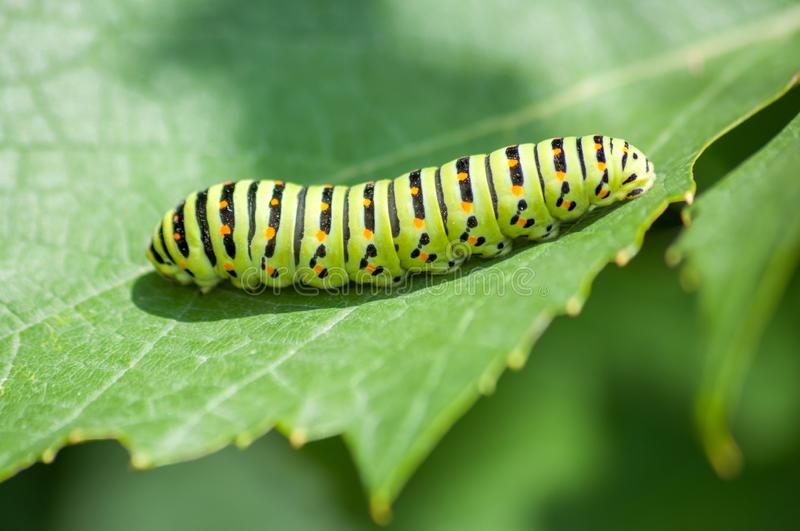 Black Swallowtail Butterfly Caterpillar. On the green leaf stock image