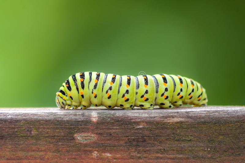 Black Swallowtail Butterfly Caterpillar. On on the hedge stock photography
