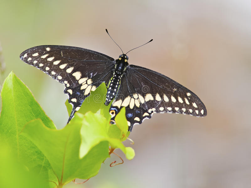 Black Swallowtail Butterfly. Feeding on some flowers royalty free stock photo