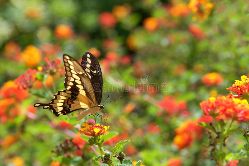 Black Swallowtail butterfly on lantana flowers royalty free stock image